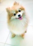 Cão pomeranian Imagens de Stock