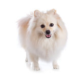 Cão pomeranian branco Foto de Stock Royalty Free