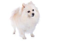 Cão pomeranian branco Fotos de Stock Royalty Free