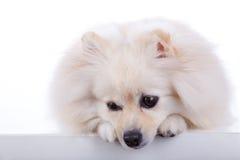 Cão pomeranian branco Fotografia de Stock