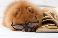 Cão pomeranian inteligente com um livro Um cão protegido em uma cobertura com um livro Cão sério com vidros Cão em uma biblioteca fotos de stock royalty free