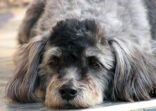 Cão preguiçoso Imagem de Stock Royalty Free