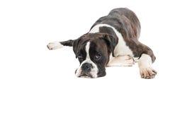 Cão preguiçoso Foto de Stock Royalty Free