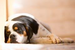 Cão preguiçoso Fotos de Stock