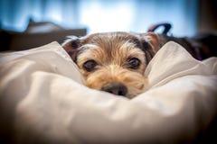 Cão preguiçoso aconchegado na cama dos proprietários fotos de stock royalty free