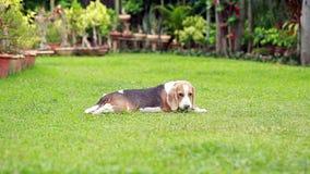 Cão preguiçoso do lebreiro no gramado filme
