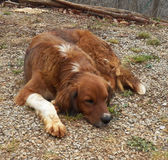 Cão preguiçoso dos ossos Foto de Stock