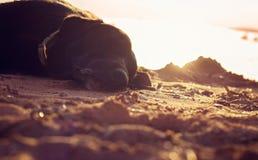 Cão preguiçoso preto velho Imagens de Stock Royalty Free