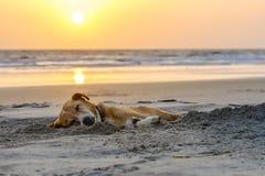 Cão preguiçoso que relaxa e que dorme na praia da areia Foto de Stock