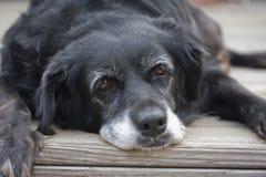 Cão preguiçoso velho Fotografia de Stock Royalty Free