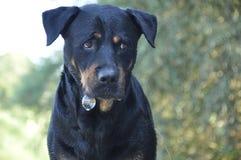 Cão prejudicado Foto de Stock Royalty Free