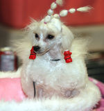 Cão preparado Imagens de Stock Royalty Free