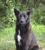 Cão preto Imagem de Stock Royalty Free