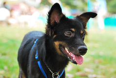 Cão preto Fotos de Stock