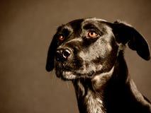 Cão preto (88) Imagem de Stock