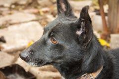 Cão preto Foto de Stock Royalty Free