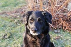Cão preto fotografia de stock
