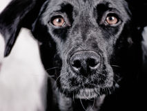 Cão preto 105 Fotografia de Stock