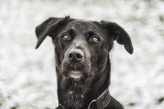Cão preto 139 Foto de Stock