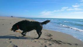 Cão preto agitado fora da água no beachnear a linha de mar vídeos de arquivo