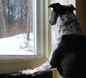 Cão preto & branco que olha a neve para fora o vento Imagem de Stock
