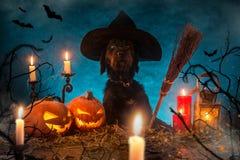 Cão preto com as abóboras de Dia das Bruxas em pranchas de madeira Fotografia de Stock