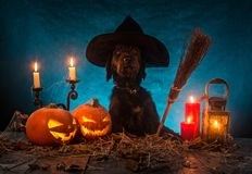 Cão preto com as abóboras de Dia das Bruxas em pranchas de madeira Foto de Stock Royalty Free