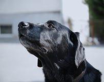 Cão preto com começar acima foto de stock