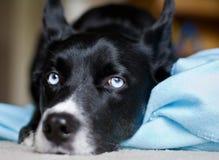 Cão preto com olhos azuis foto de stock