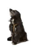 Cão preto da raça misturada Foto de Stock