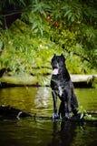 Cão preto de Corso do bastão na natureza Foto de Stock Royalty Free