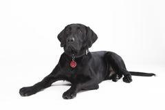Cão preto de encontro bonito Fotografia de Stock Royalty Free