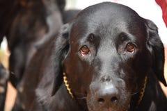 Cão preto de Labrador imagem de stock