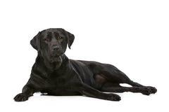 Cão preto de Labrador Fotografia de Stock Royalty Free