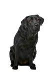 Cão preto de Labrador Imagem de Stock Royalty Free
