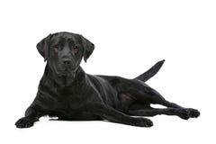 Cão preto de Labrador Fotografia de Stock