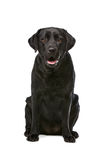 Cão preto de Labrador Fotos de Stock