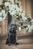 Cão preto de Labrador com flor Fotos de Stock Royalty Free