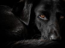 Cão preto de Labrador em repouso Imagens de Stock Royalty Free