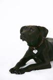 Cão preto de Labrador isolado Imagem de Stock Royalty Free