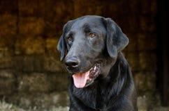 Cão preto de labrador retriever em Hay Barn Foto de Stock