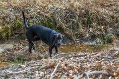 Cão preto de labrador retriever que bebe de um córrego fotos de stock
