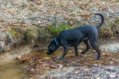 Cão preto de labrador retriever que bebe de um córrego foto de stock royalty free