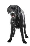 Cão preto de labrador retriever que encontra-se no branco isolado Imagens de Stock