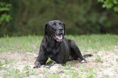 Cão preto de labrador retriever que estabelece na areia Fotografia de Stock