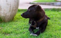 Cão preto de Tailândia Foto de Stock Royalty Free