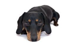 Cão preto do bassê Imagem de Stock