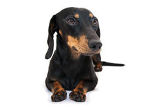 Cão preto do bassê Imagem de Stock Royalty Free