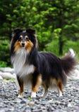 Cão preto do collie Fotos de Stock