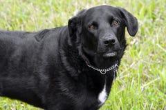 Cão preto do laboratório com os olhos marrons grandes. Imagem de Stock Royalty Free